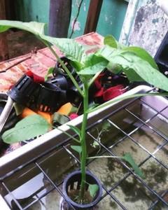 tanaman hidroponik bayam